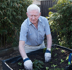 Older man wearing gloves gardening