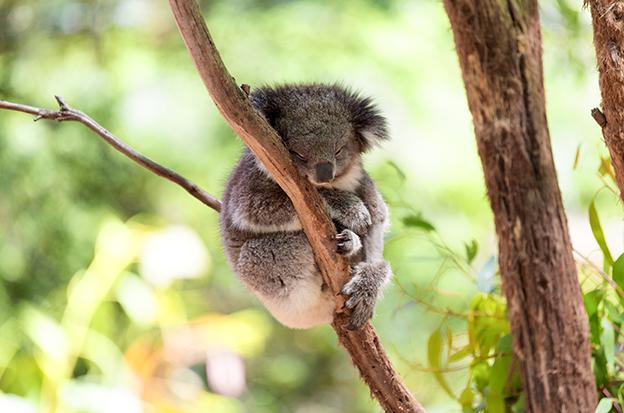 Koala_widget.png